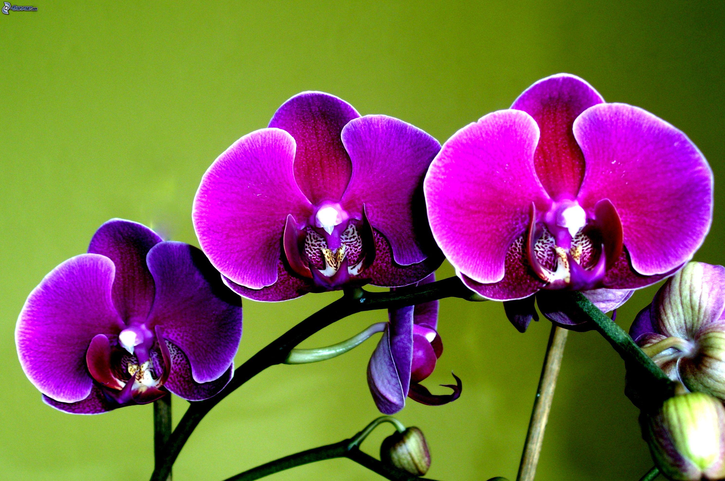 Ako si vybrať v obchode tú správnu orchideu, aby vám kvitla čo najdlhšie? 7 trikov ako na to!