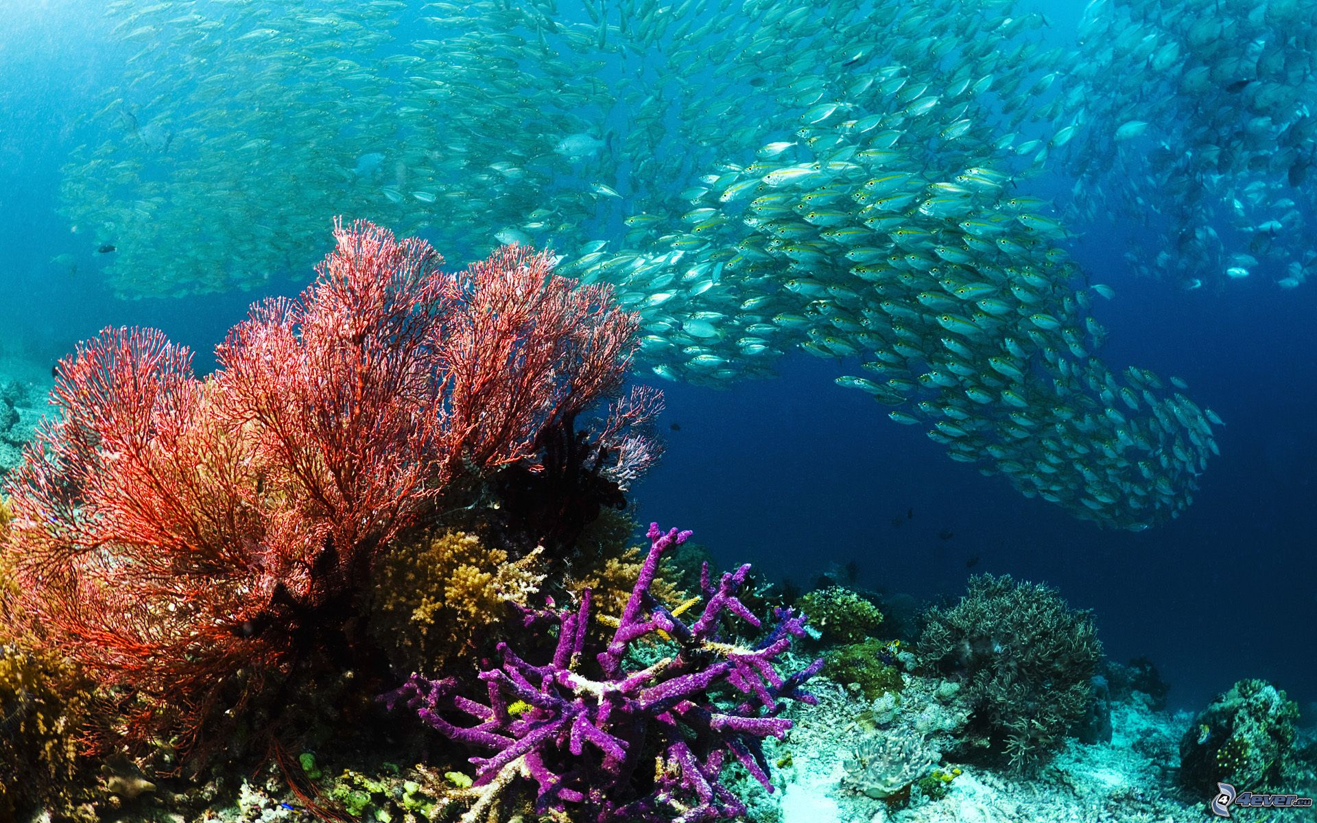 Fotografije morskih dubina - Page 10 Huf-ryb,-ryby,-morske-dno,-koraly-159622